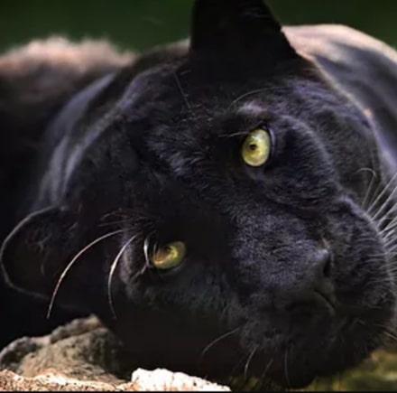 Panthera_Amur profile image